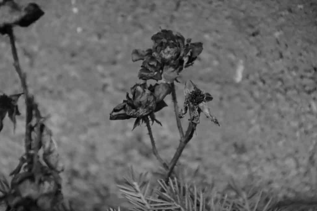 Svarthvit rose