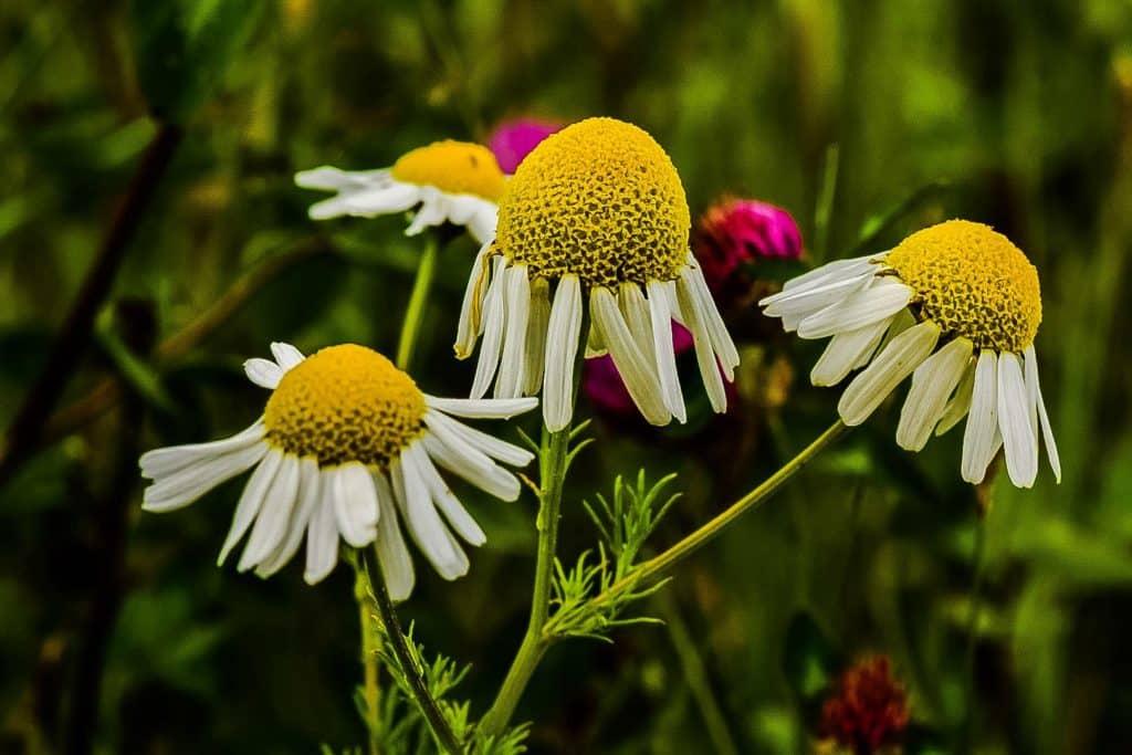 prestekrage  blomst
