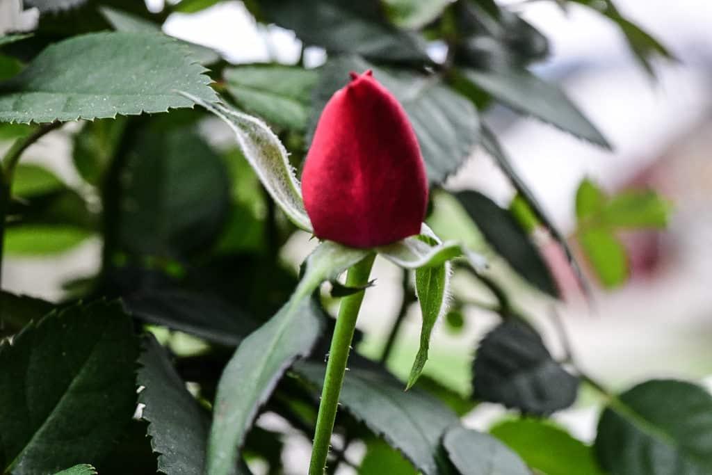 knopp,blomst,livet