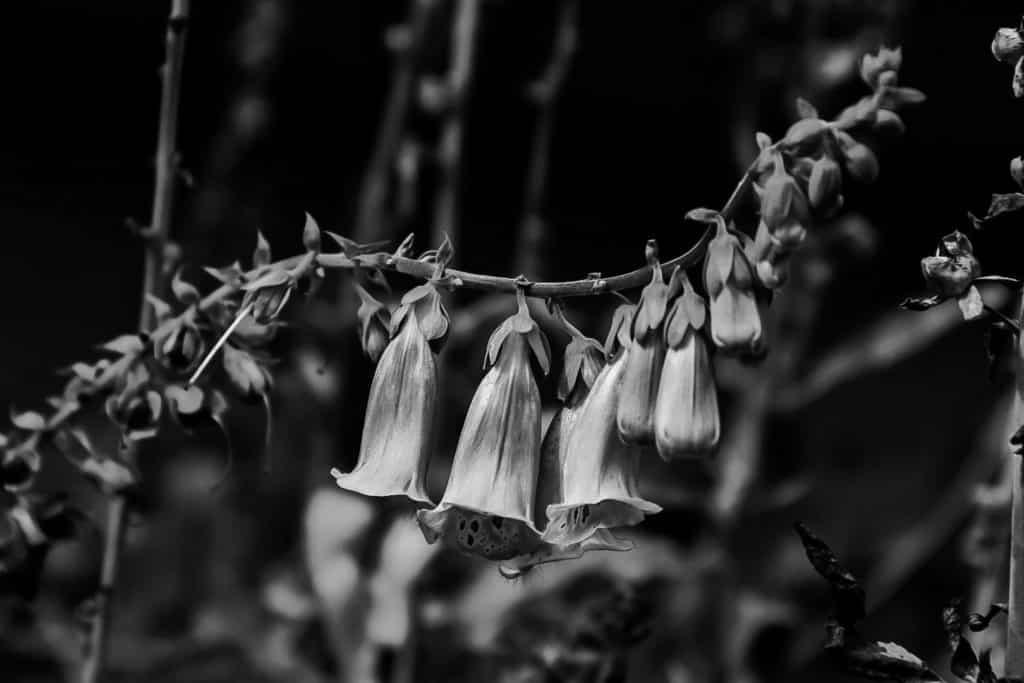 svarthvit revebjelle