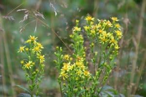 Russekål ( Bunias orientalis )